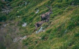 Alpine capricorn Steinbock Capra ibex with grass infront. Two alpine capricorn Steinbock Capra ibex with grass infront sunny royalty free stock image