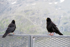 Two Alpine chough resting on a fence at Grossglockner mountain a Stock Photo