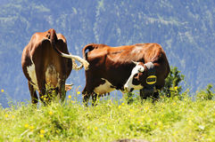 Two alpine cows Royalty Free Stock Images