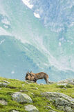 Two alpine goats fighting, mount Bianco, Alps, Italy royalty free stock photography