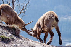 Two alpine ibex fighting in French Alps, France. Two male alpine ibex fighting with their horns for access to females in French Alps, France stock photo