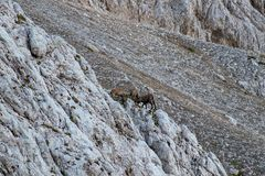 Two alpine ibex fighting in the morning. Two alpine ibex fighting in Triglav national park Bohinj, Slovenia stock photography