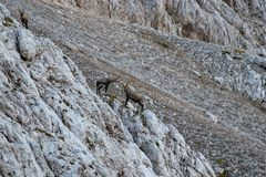 Two alpine ibex fighting in the mountains. In Triglav national park Bohinj, Slovenia stock photos