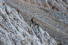 Two alpine ibex fighting while small one walking away. In the mountains in Triglav national park Bohinj, Slovenia stock images