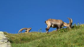 Two alpine ibex grazing on a mountain meadow Royalty Free Stock Image