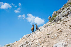 Two alpine ibex Royalty Free Stock Image