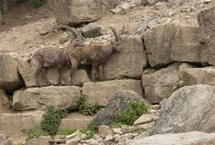 Two Alpine Ibex in stony ambiance Stock Photography