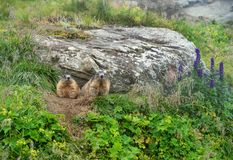 Two alpine marmots looking out of their cave royalty free stock photo