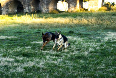 Two Alsatian dogs Royalty Free Stock Photos