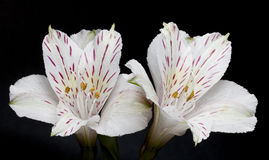 Two Alstroemeria flowers Royalty Free Stock Images