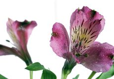 Two alstroemeria flowers. Close-up beautiful purple and rose alstroemeria flower with stalk with water droplets on white background showing the layered petals stock image