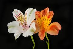 Two alstroemeria flowers against black stock photography