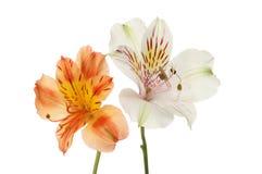 Two alstroemeria flowers royalty free stock photos
