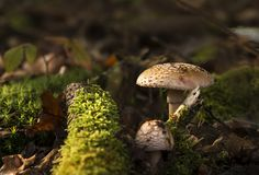 Two Amanita regalis mushrooms growing in the forest royalty free stock photo