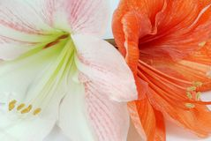 Two amaryllis Stock Images
