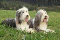 Two amazing bearded collies lying in the grass Stock Image