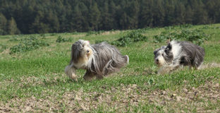 Two amazing bearded collies running together Royalty Free Stock Image