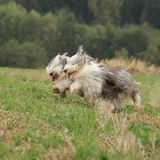 Two amazing bearded collies running together Stock Photography