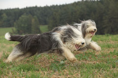 Two amazing bearded collies running together Royalty Free Stock Photography