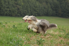 Two amazing bearded collies running together Royalty Free Stock Images