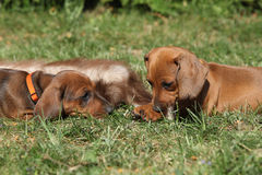 Two amazing Dachshund puppies laying in the garden. Two amazing Dachshund puppies laying on grass in the garden Royalty Free Stock Photos