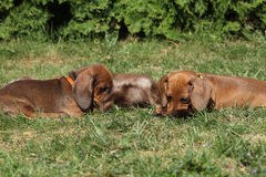 Two amazing Dachshund puppies laying in the garden Stock Photos