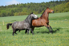 Two amazing horses  playing in fresh grass Royalty Free Stock Photography