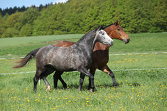 Two amazing horses running in fresh grass Stock Photo
