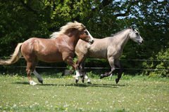 Two amazing horses running on spring pasturage Stock Images