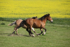 Two amazing horses running on spring pasturage Royalty Free Stock Images