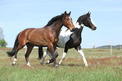 Two amazing horses running on spring pasturage royalty free stock photos