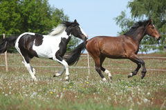 Two amazing horses running on spring pasturage Royalty Free Stock Photography
