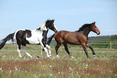 Two amazing horses running on spring pasturage Royalty Free Stock Image