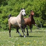 Two amazing horses running together Royalty Free Stock Photos