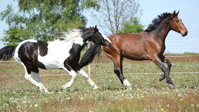 Two amazing horses running together Royalty Free Stock Image