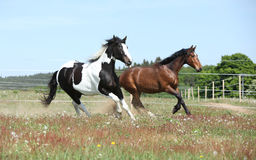 Two amazing horses running together. On springs pasturage Stock Image