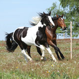 Two amazing horses running together. On springs pasturage Royalty Free Stock Photography
