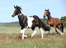 Two amazing horses running together Stock Images