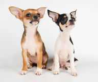Two amazing puppies Royalty Free Stock Photography