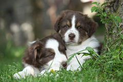 Two amazing puppies lying together in the grass stock images