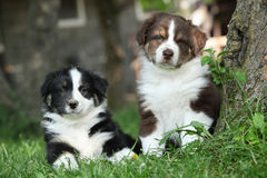 Two amazing puppies lying together in the grass Stock Image