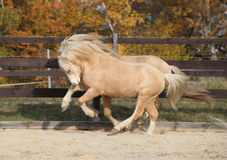 Two amazing stallions playing together Stock Photos