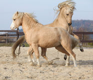 Two amazing stallions playing together Stock Photography
