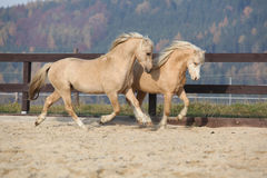 Two amazing stallions playing together Royalty Free Stock Image