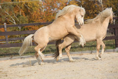 Two amazing stallions playing together Royalty Free Stock Photography