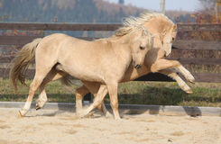 Two amazing stallions playing together Royalty Free Stock Images