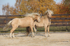 Two amazing stallions playing together Royalty Free Stock Photos