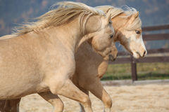 Two amazing welsh pony stallions playing together Stock Photography