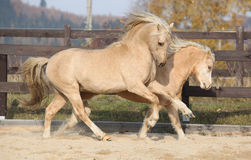 Two amazing welsh pony stallions playing together Royalty Free Stock Photos