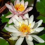 Two amazing white and pink water lilies or lotus flowers Marliacea Rosea in old pond. Nympheas are bloom. Among huge leaves. Selective focus. Nature concept for royalty free stock photography